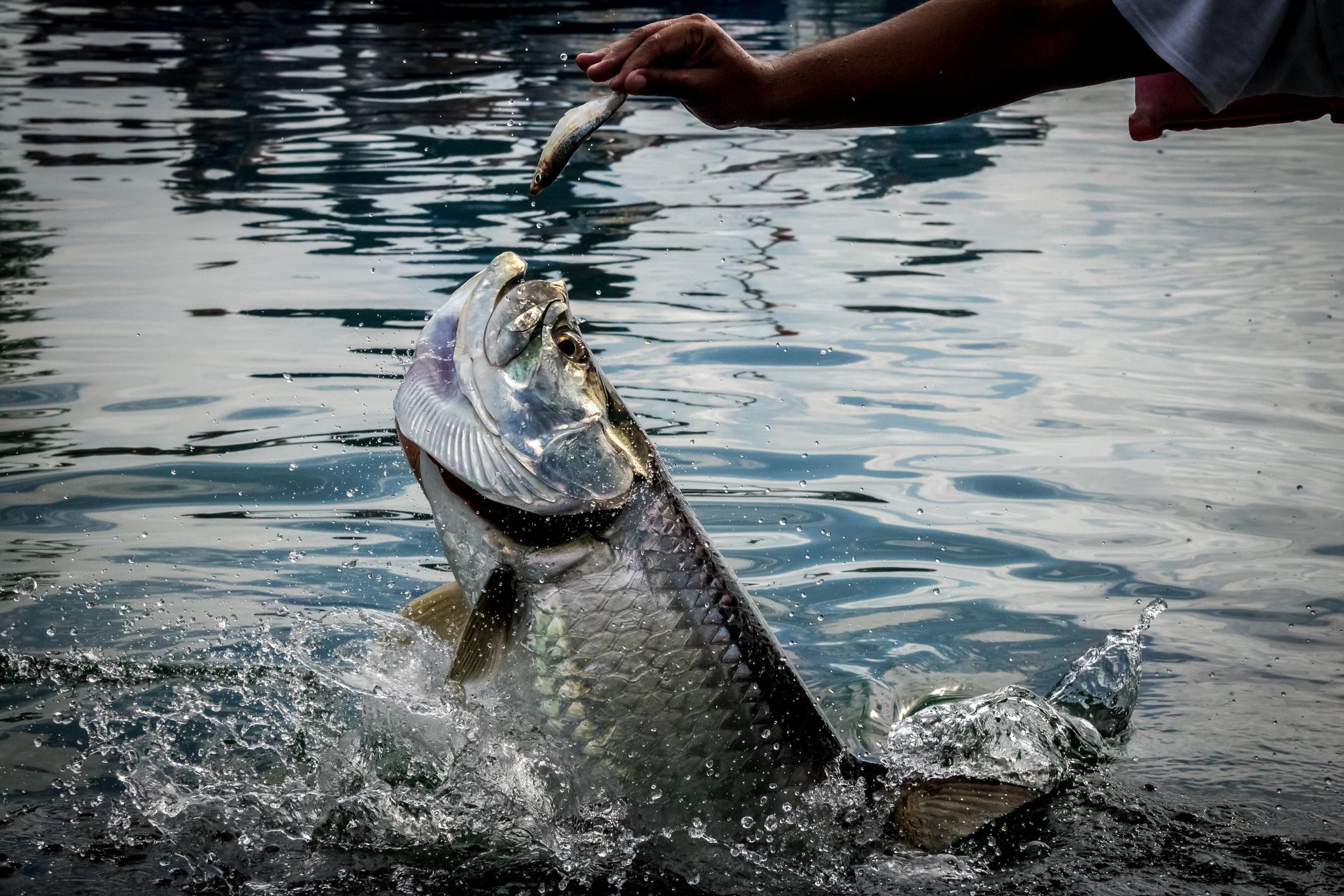Tarpon fishing season in Florida, fish jumping out of water