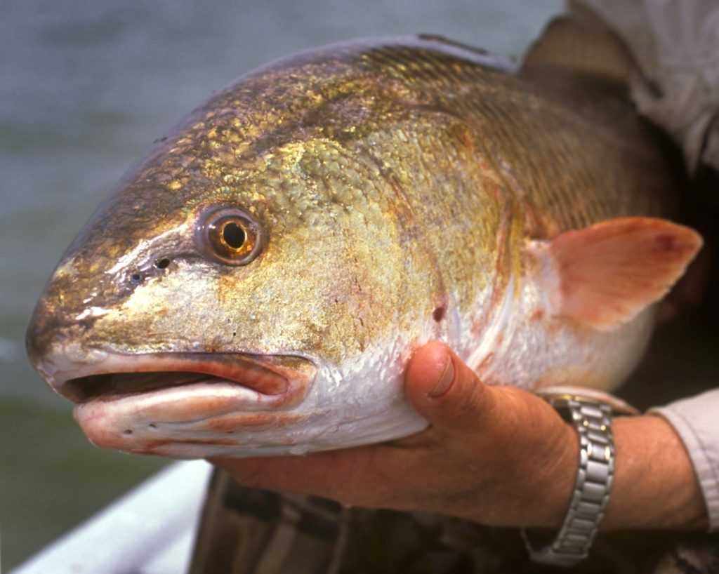 a redfish in a fisherman's hand